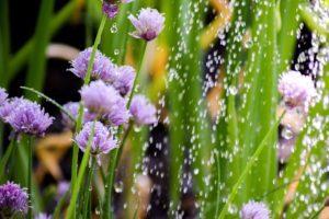 Blühpflanzen häufig bewässern