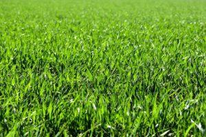 gepflegter grüner Rasen
