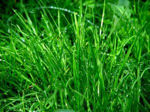 kräftiger Rasen
