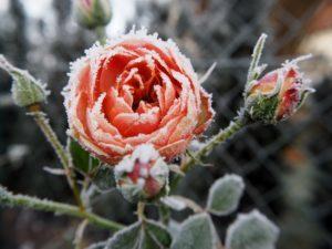 Rosen Frostschäden