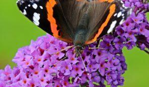 Schmetterlingsbaum Admiral