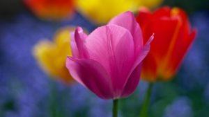 Tulpen Blumenzwiebeln