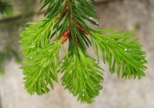 Weihnachtsbaum mit Wurzeln pflanzen