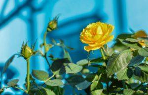 wurzelnackte Rosen wässern